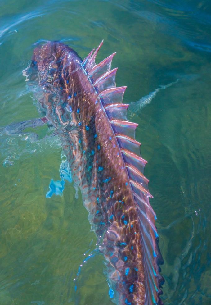 DaveBlog4 - Shark Bay Pink Snapper
